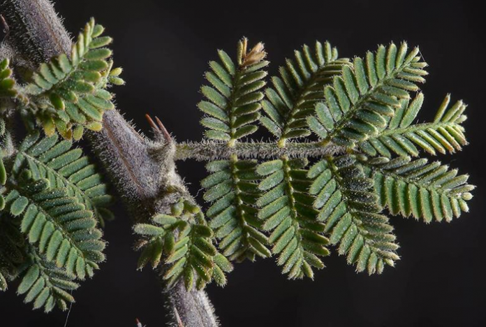 Branche d'acacia