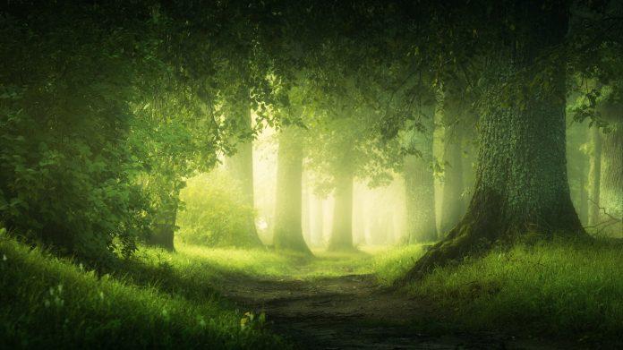 Sous bois à l'aube, forêt de gros arbres en été